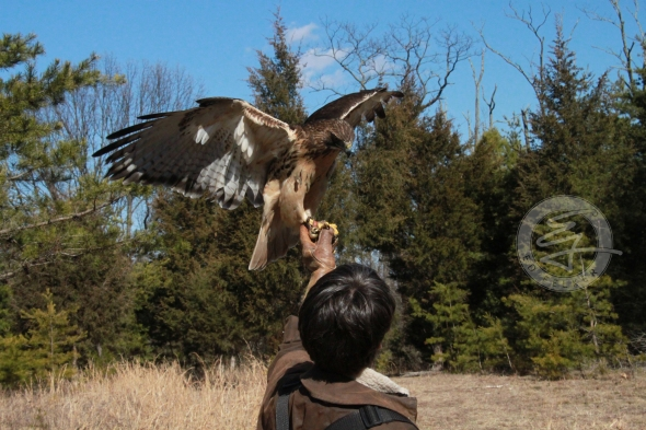Eva King and Kira (Red-tailed Hawk)